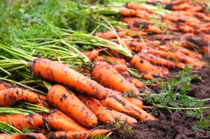 Kho lạnh bảo quản cà rốt